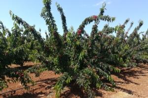 Il vaso multiasse del ciliegio - Plantgest news sulle varietà di piante