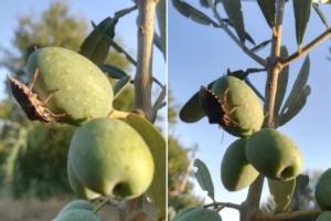 Cimice asiatica, confermati i danni anche su olivo