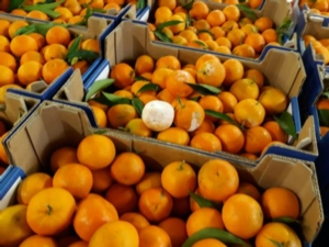 clementine-colpite-dall-umidita19nov2018coldiretti-calabria