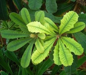 clorosi-ferrica-foglie-malattia-fonte-frank-vincentz-via-wikipedia