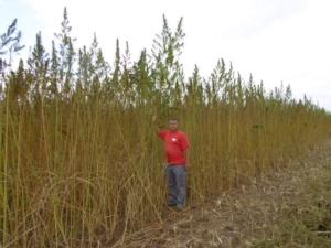 coltivazione-di-canapa-terzo-art-dic-rosato-fonte-vincenzo-alfano