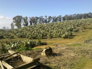 coltivazione-di-fico-di-india-da-frutto-a-san-cono-ct-secondo-art-gen-2021-rosato-fonte-mario-rosato