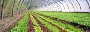 Triacontanolo di origine naturale: un toccasana per gli ortaggi in serra - colture - Fertilgest