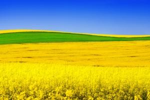 Colza, sguardo al futuro - Plantgest news sulle varietà di piante