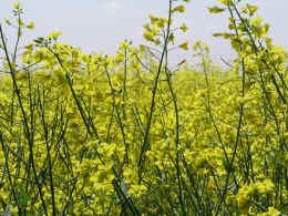 colza-fiori