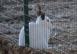 Più burocrazia per i conigli