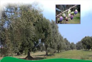 convegno-scientifico-olivicoltura-2011