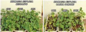 effetto-soppressivo-della-biomassa-esplosa-di-miscanto-e-di-canna-comune-su-piantine-dicetriolo-secondo-art-rosato-feb-2020-fonte-enea