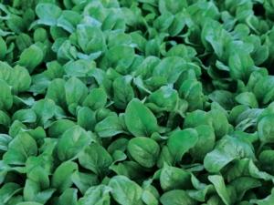 Spinaci, Syngenta: varietà con elevate resistenze a Peronospora e Stemphylium - Plantgest news sulle varietà di piante