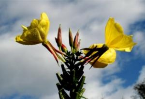 enotera-fiori-by-enrico-blasutto-wikipedia-jpg