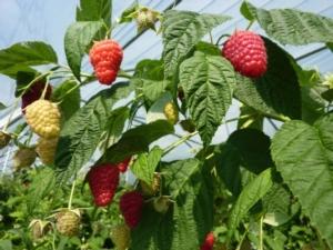 Enrosadira<sup>&reg;*</sup>, lampone rifiorente precoce e di qualit&agrave; - Plantgest news sulle variet&agrave; di piante