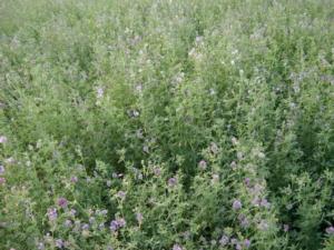 Erba medica,  fissato il prezzo indicativo 2020 - Plantgest news sulle varietà di piante