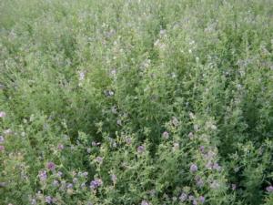 Sementi foraggere: prezzo di orientamento di mercato del seme per il 2020 - Plantgest news sulle varietà di piante