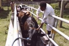 etiopia-fao-peste-bovina