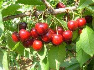 Vivai F.lli Zanzi, open day ciliegio: le varietà tardive - Plantgest news sulle varietà di piante