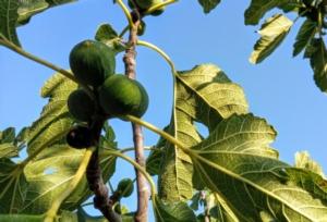 Progetto Figgen, rilanciare il fico nel Mediterraneo - Plantgest news sulle varietà di piante