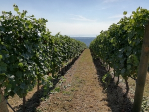 Perché in una viticoltura di qualità la nutrizione è importante - Fertilgest News