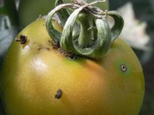 fitofagi-pomodoro-da-mensa-fonte-biogard