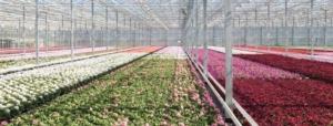 florovivaismo-ambiente-protetto-fonte-syngenta-fondazione-minoprio