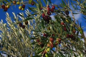 fmc-alberi-olivo-2021
