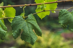 foglie-vite-viticoltura-vitivinicoltura-vigneto-by-rtsvitlyna-adobe-stock-750x500