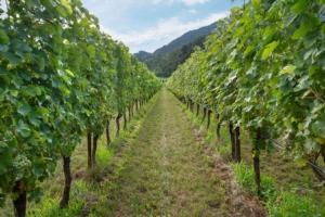 EVENTO ONLINE - Fondazione Edmund Mach: 13<sup>°</sup> Giornata tecnica della vite e del vino - Plantgest news sulle varietà di piante