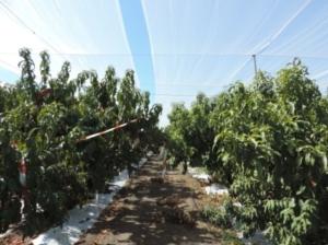 Pesco, più produzione con reti ombreggianti e mulching