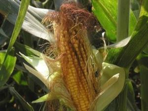 Mais: impostare per tempo i piani di fertilizzazione - colture - Fertilgest