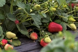 Fragola, le varietà più coltivate - Plantgest news sulle varietà di piante