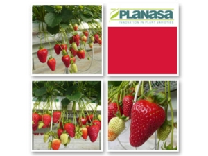 fragola-dream-planasa-new