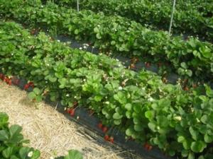 Idrol-Veg: il partner ideale per la fertirrigazione - L.E.A. - Fertilgest News