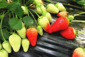 Fragola, tra nuove varietà e problemi da risolvere - Plantgest news sulle varietà di piante