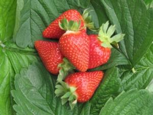 Civ vola a Rotterdam per il Global berries Congress 2018 - Plantgest news sulle varietà di piante