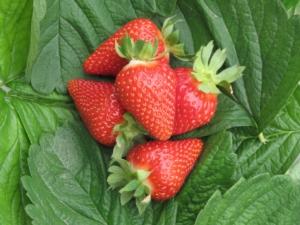 3° Congresso internazionale della fragola - Plantgest news sulle varietà di piante