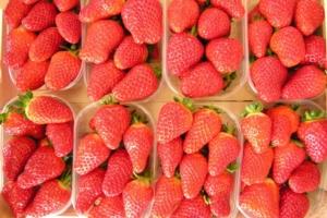 Fragola, c'è il made in Italy per tutto l'anno - Plantgest news sulle varietà di piante