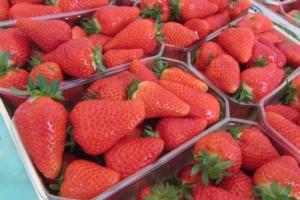 Salvi, la qualità della fragola paga sempre - Plantgest news sulle varietà di piante