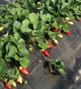fragole-coltivazione-flaminia-fonte-salvi-vivai