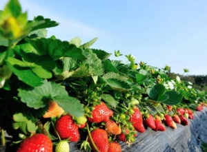 Fragola, +9% le superfici coltivate - Plantgest news sulle varietà di piante