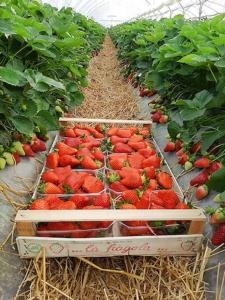 """Geoplant tra i big delle """"Olimpiadi della fragola"""" - Plantgest news sulle varietà di piante"""