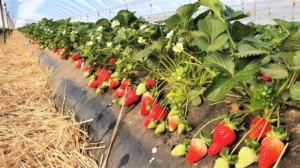 Fragola Flavia*, le testimonianze di due produttori di Policoro - Plantgest news sulle varietà di piante