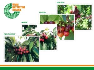 Vivai Battistini, novità nel ciliegio all'insegna della qualità - Plantgest news sulle varietà di piante