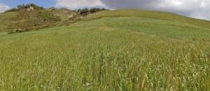 frumento-campi-crpv