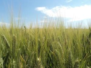 Jura<sup>®</sup>, la nuova soluzione per il diserbo del frumento in pre-emergenza