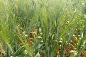 Il frumento alla prova dei cambiamenti climatici - Plantgest news sulle varietà di piante