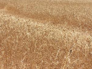 frumento-grano-campo-cereali-byflickrcc20-diluvi