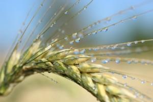 Il grano duro e le sue micorrize