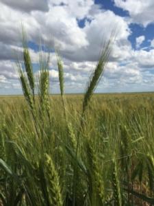 Cereali, per il Cesac il bilancio è positivo - Plantgest news sulle varietà di piante