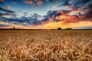 frumento-tramonto-grano-campo-by-piotr-krzeslak-adobe-stock-750x500