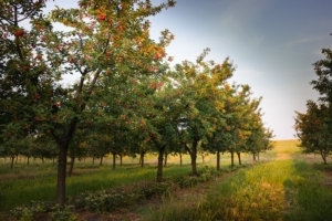 frutteto-ciliegie-by-dusan-kostic-adobe-stock-750x499