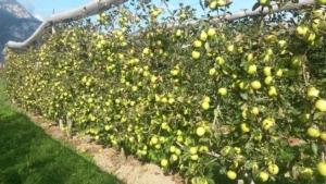 frutteto-sostenibile-sperimentato-a-maso-delle-part-mezzolombardo-in-parete-e-con-reti-multi-task-fonte-fem